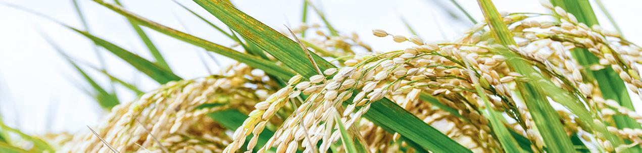 【精米後3日以内に発送】<br>令和元年産 長野県信濃町産特別栽培米 あきたこまち 5kg