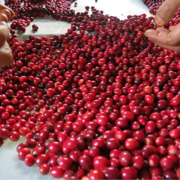 ネパール ヒマラヤン アラビカ 浅煎り コーヒー豆 100g