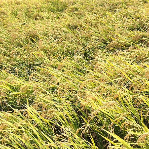 【WEB限定】【北海道米食べ比べセット】特別栽培米・白米300g 5種セット