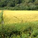 【10kg・特別栽培米】ふっくりんこ・玄米