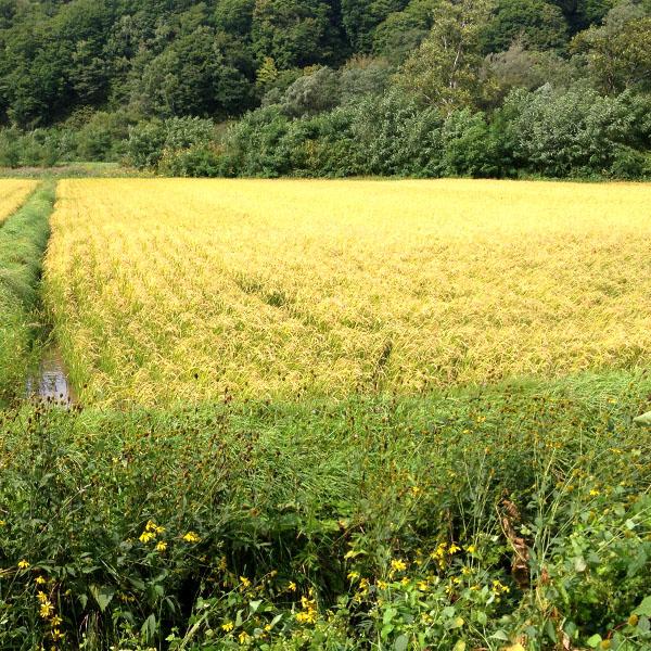 【10kg・栽培期間中農薬不使用米】ふっくりんこ・白米