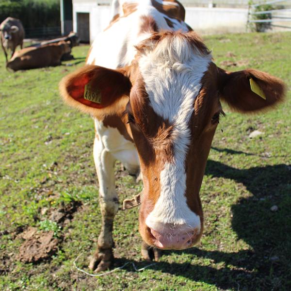 【近藤牧場】<br>近藤牧場の手づくりチーズセット