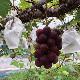 ミモレ農園セレクト 乾燥果実 ピオーネ