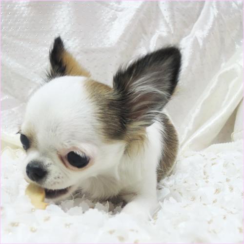 愛犬/無添加おやつ☆サプリメントクッキー(コラーゲン・毛艶) 80g
