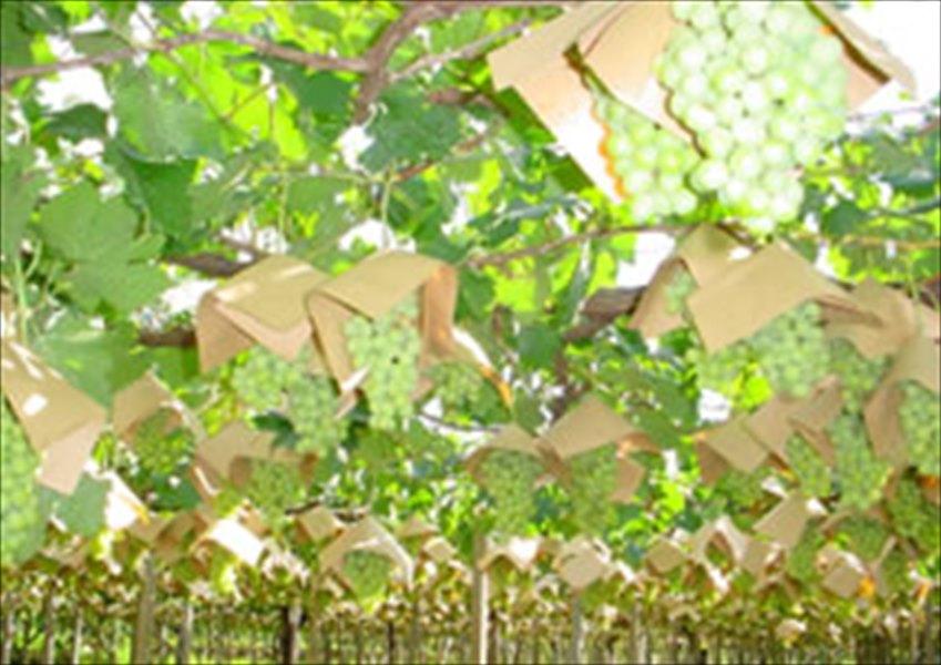 クラフト傘 茶 27×27(柴田屋) 2000枚/箱