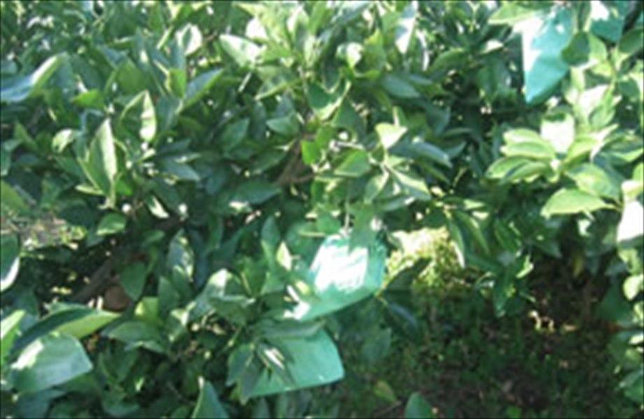 みかん越冬用掛け袋 グリーンレッド 二重袋13号止出し100枚入183×215� せとか デコポン
