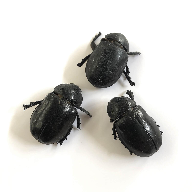 FemaleRhinoBeetles4g(カブトムシ(雌)4g)
