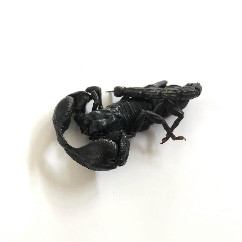 【賞味期限間近の為50%OFF】 賞味期限:2021.4.30 Black Scorpion6g(チャグロサソリ6g)