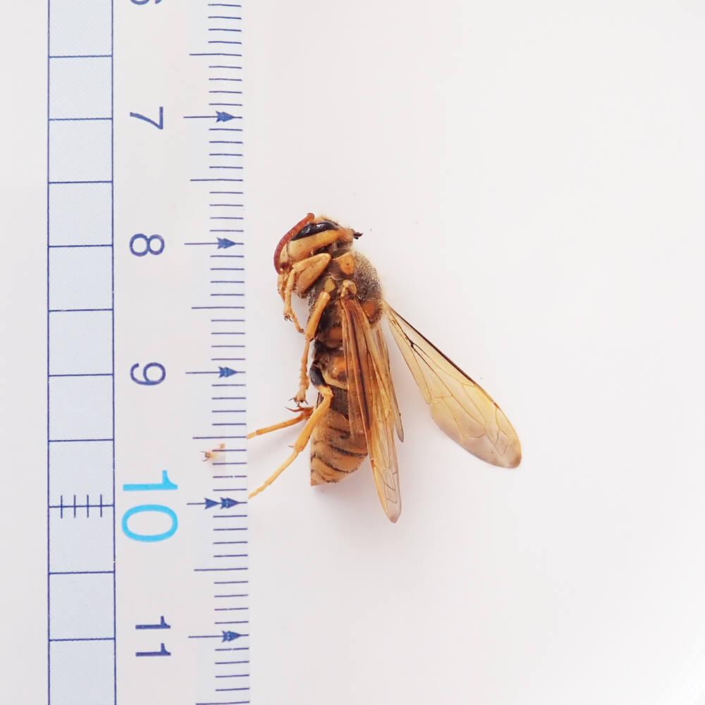 【国産】冷凍 キイロスズメバチ 成虫 (100g)