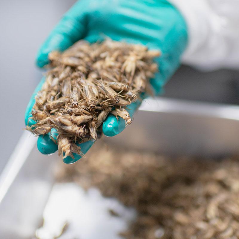 サスティナブル プロテイン 昆虫食コオロギパウダー