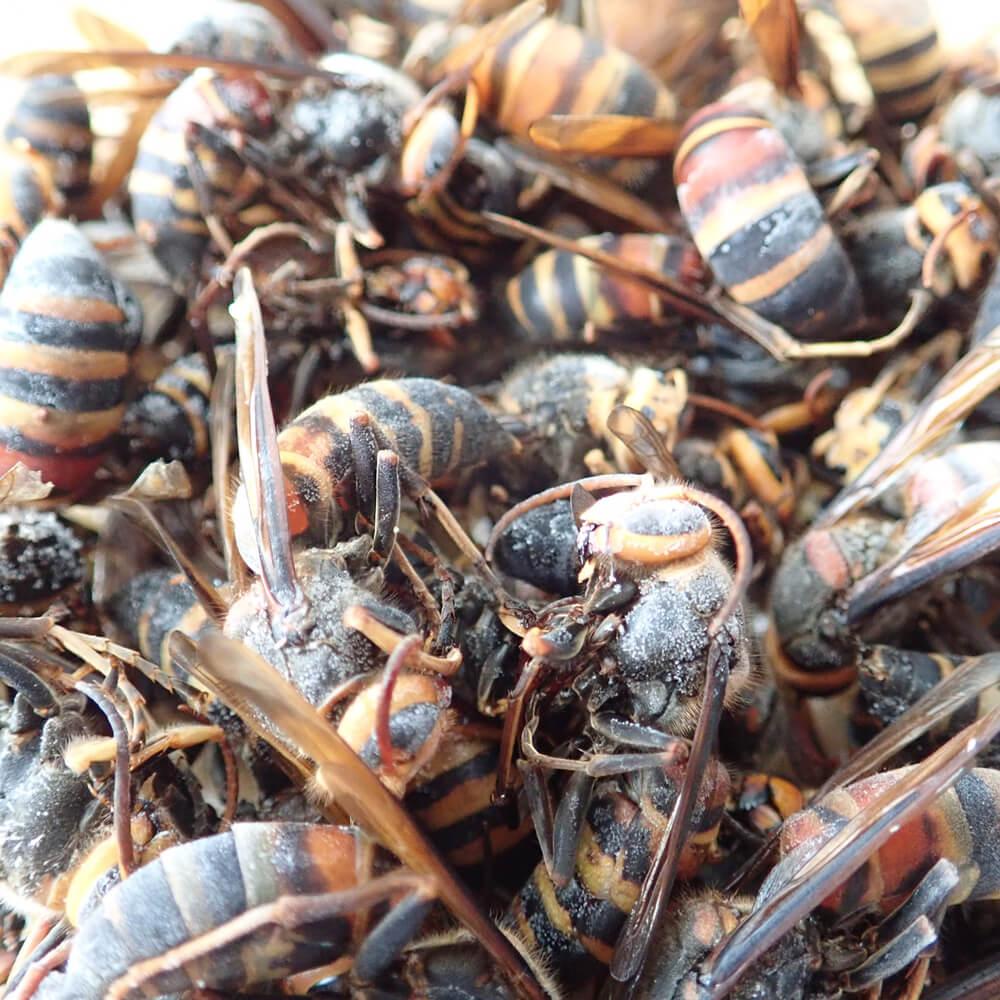 昆虫食 蜂 成虫 幼虫 サナギ 冷凍
