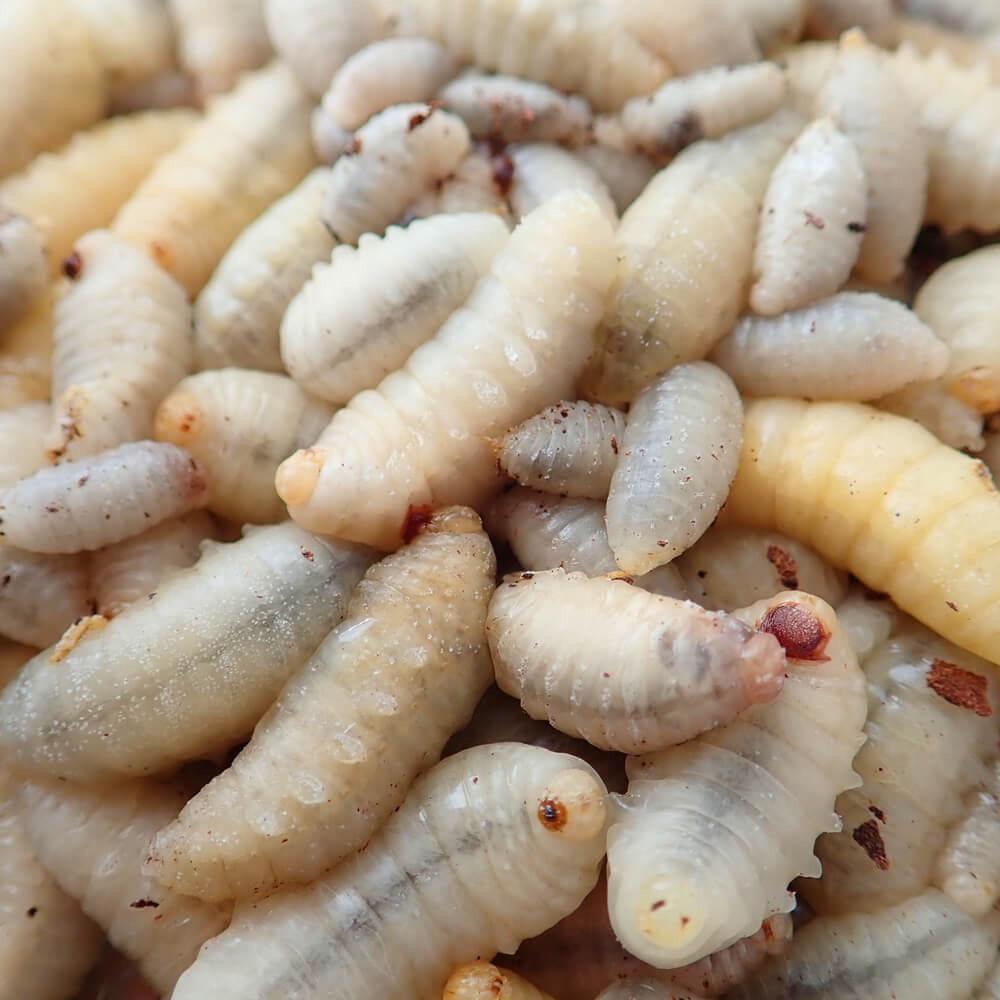 【国産】冷凍 キイロスズメバチ 幼虫 (100g)