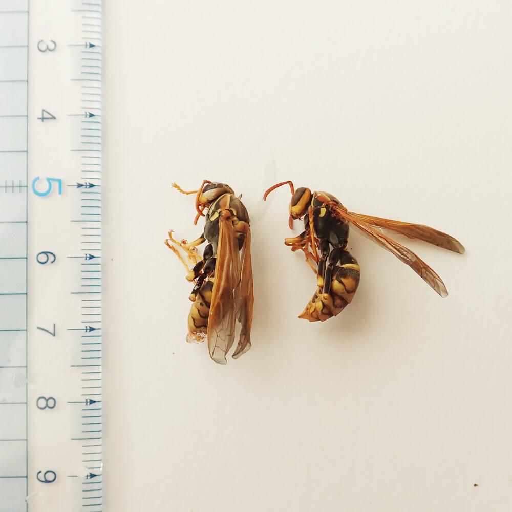 【国産】冷凍 セグロアシナガバチ 成虫 (100g)