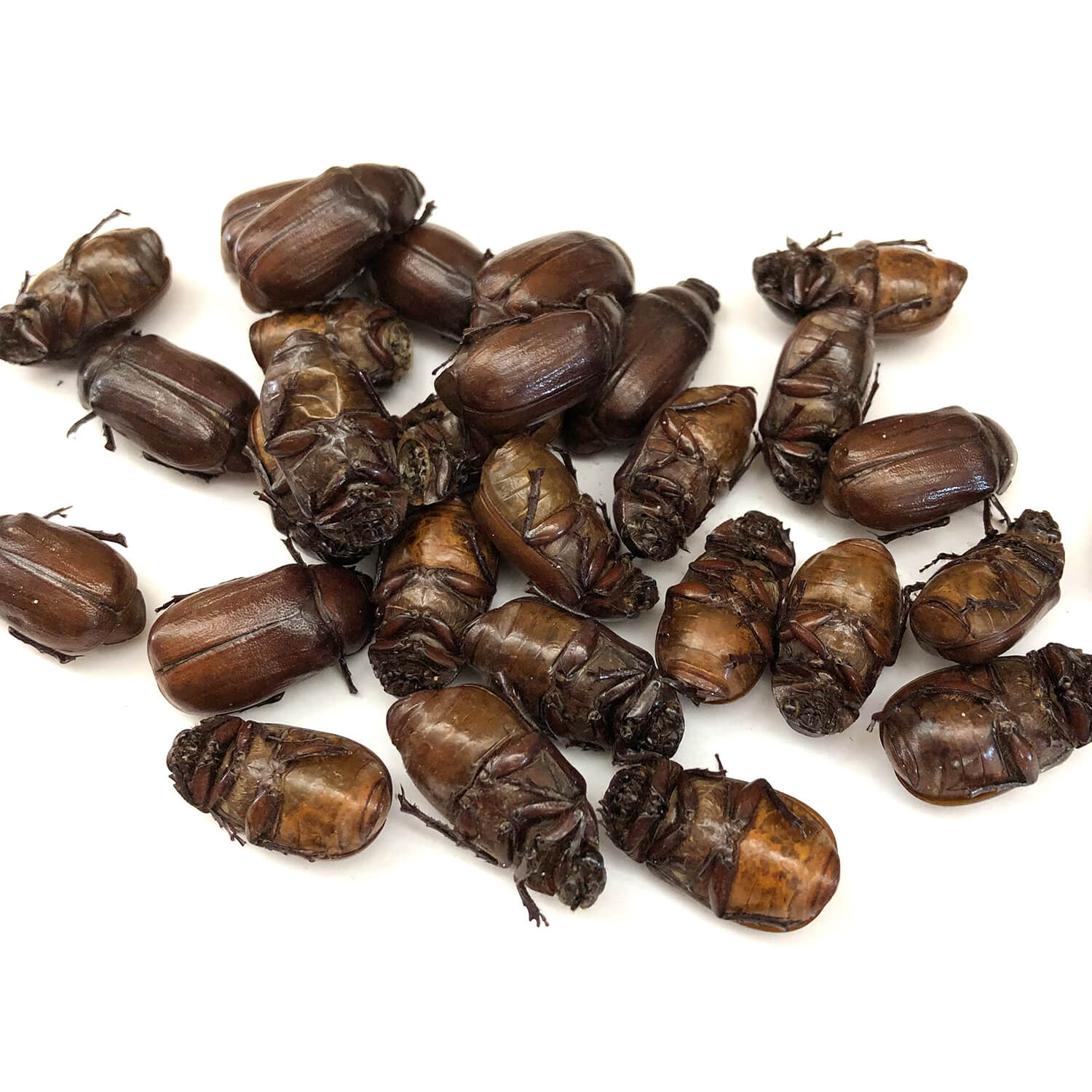 Small June Beetles 15g (コガネムシ15g)