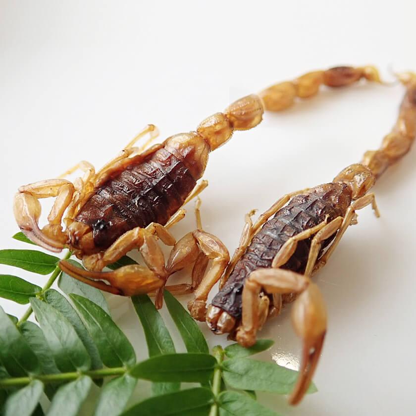 ArmorTail Scorpions(アーマーテイルスコーピオン2匹)