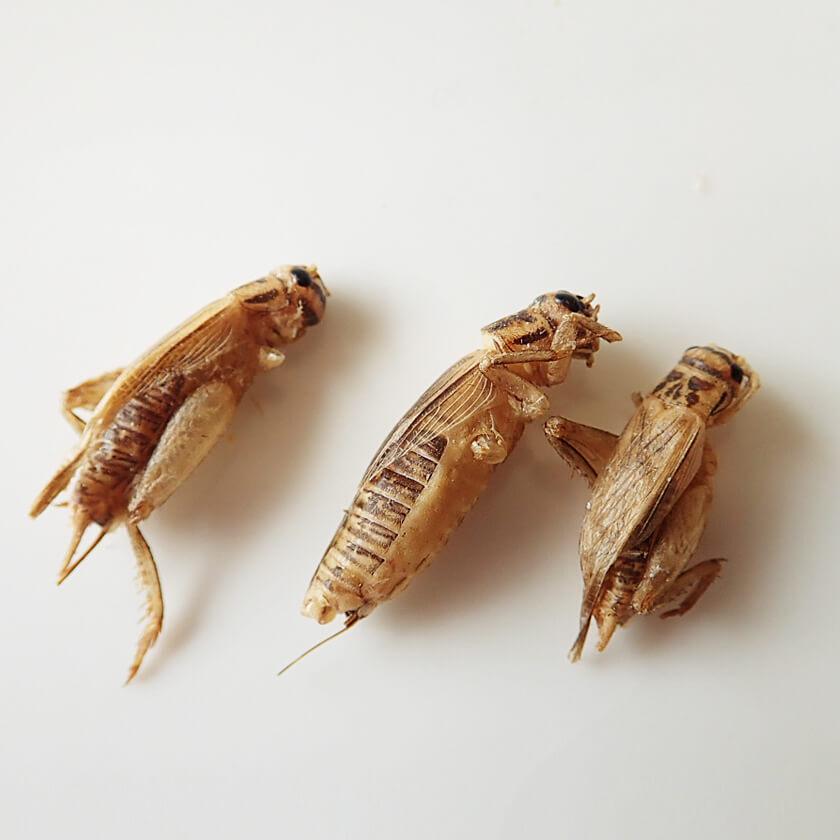 【賞味期限:2021.3.25まで!賞味期限間近の為50%OFF】Small Crickets15g(ヨーロッパイエコオロギ15g)  x 10袋