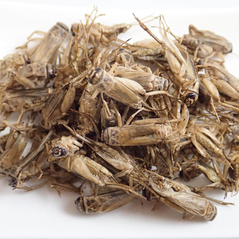 業務用 食用クリケット エントクリスプ(姿) BBQ味 20g (ヨーロッパイエ コオロギ)