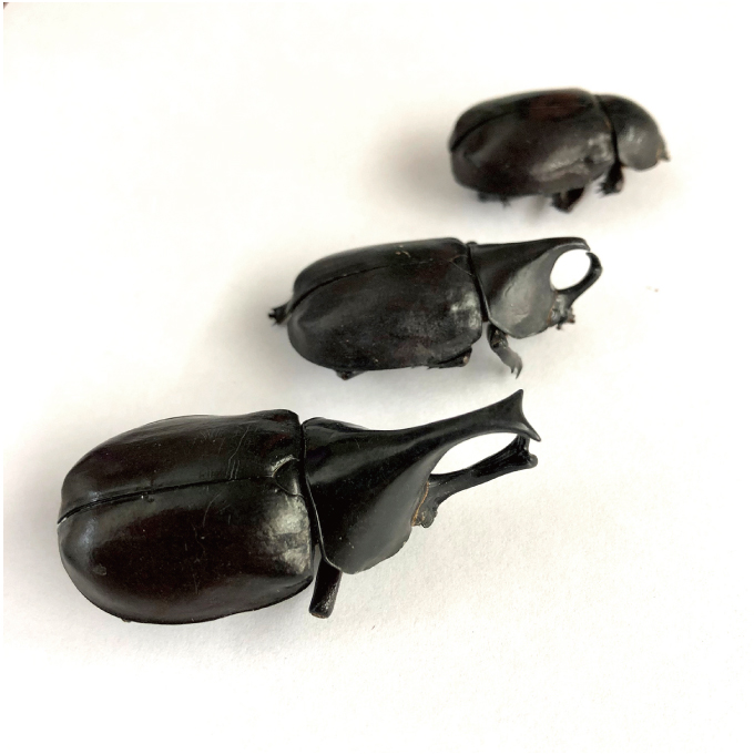 Male Rhino Beetles (カブトムシ) x  10袋