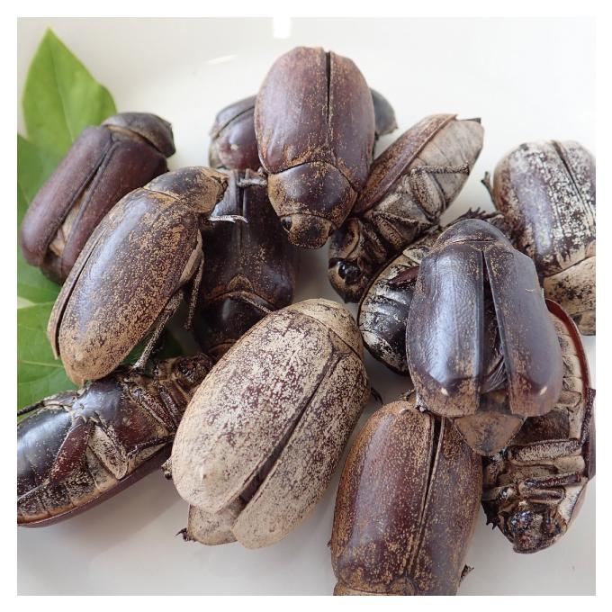 Large June Beetles 15g (コガネムシ大15g)x 10袋