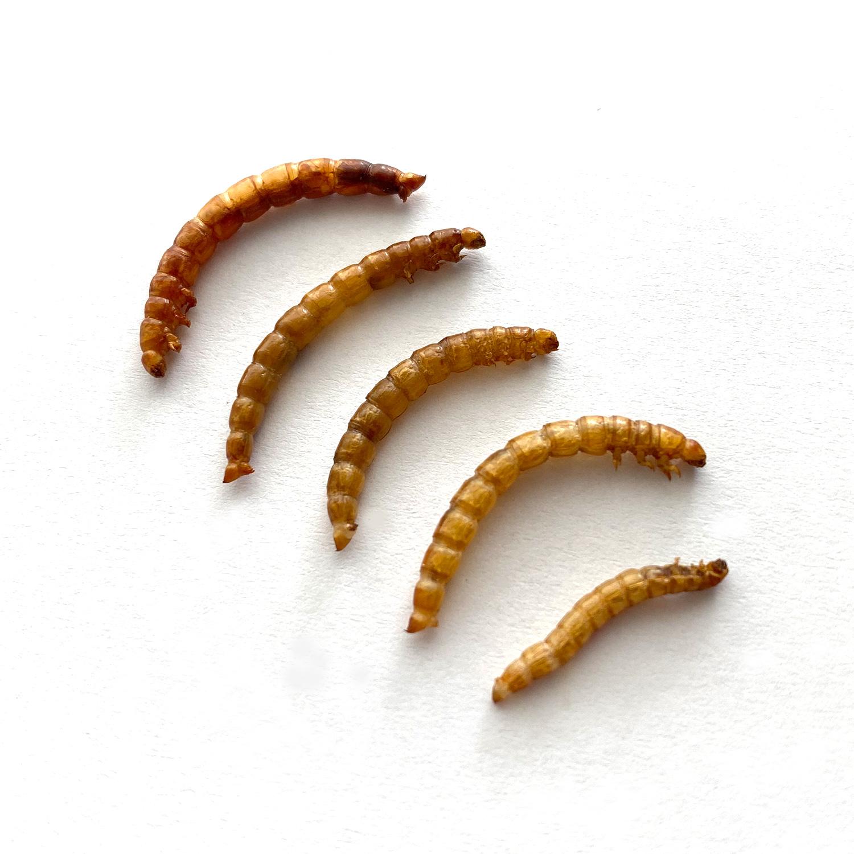 【賞味期限間近の為50%OFF】 賞味期限:2021.2.25Mealworms10g(ミルワーム10g)x 10袋