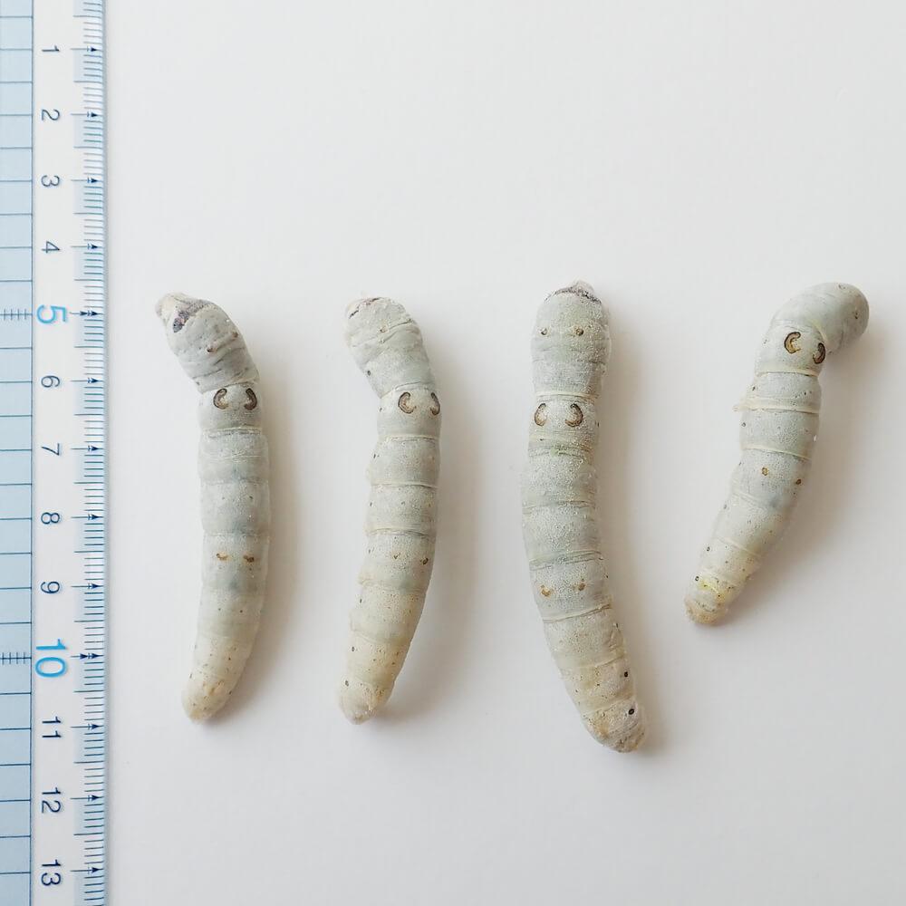 【国産】業務用サイズ 冷凍 カイコ 幼虫(1kg)