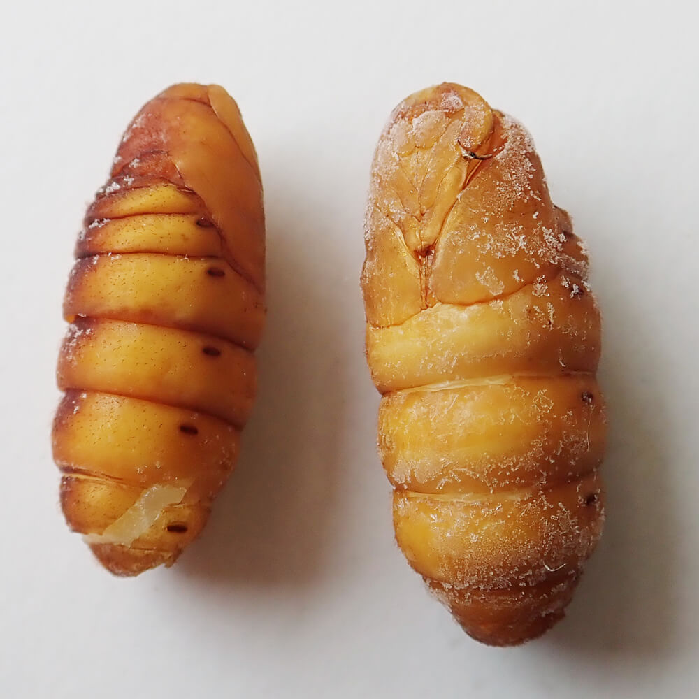 【国産】業務用サイズ 冷凍 カイコ サナギ まゆ付き(1kg)