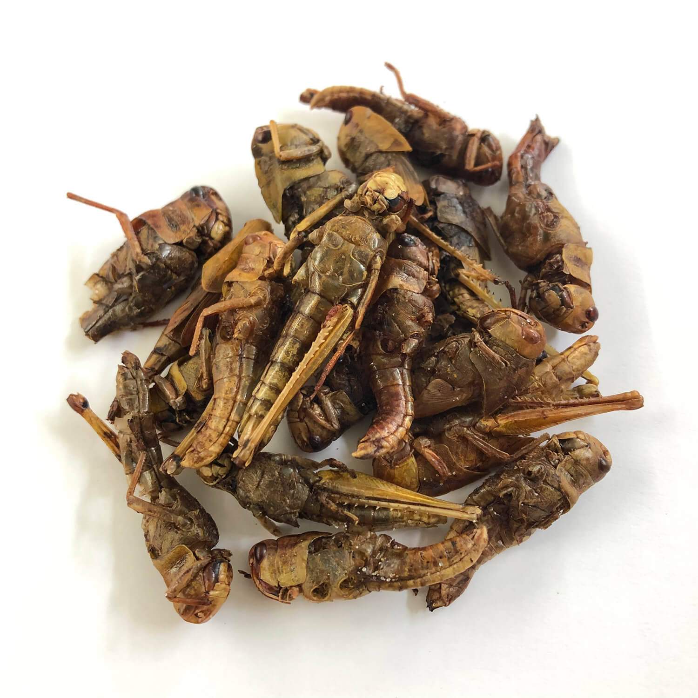 Locusts15g(ワタリバッタ15g)