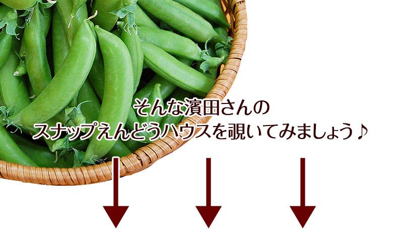 2021年ご予約開始 こだわりスナップえんどう1kg<BR>匠の里紀州 濱田佳久が育てる<BR>安心安全!さやごと食べれる、驚きの甘さの<BR>ハウス栽培のスナックえんどうを産地直送でお届けします。<BR><BR>スナックエンドウ/スナップエンドウ/豌豆/豆/えんどう豆/有機肥料栽培/和歌