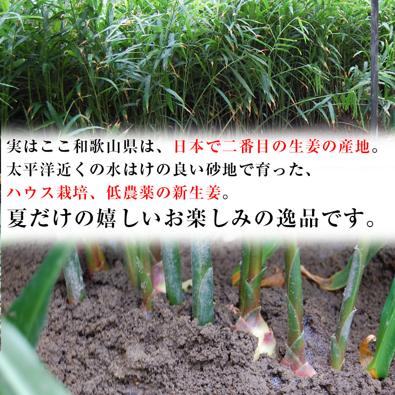 2021年ご予約開始!新生姜(和歌山県産)たっぷりお得な約4kg入<BR><BR>【送料無料】<BR><朝採れ新鮮!安心の国産 新生姜><BR>砂地のハウスで低農薬栽培される大変瑞々しく、香り高く<BR>爽やかな辛味が特徴の新しょうがです!<BR>