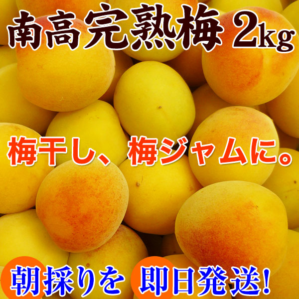 青梅(和歌山県産)南高梅の青梅2kg<br>朝採り新鮮【2019年ご予約開始】<br>完熟梅もございます。<br>