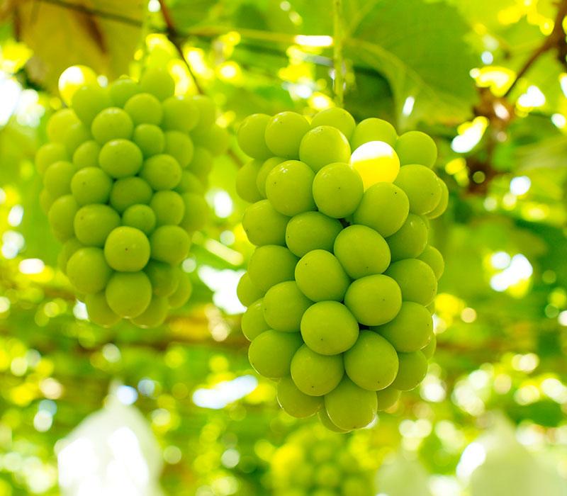 ハウス産 シャインマスカット 約600g(1房入)<br><br>【クール便送料無料】※一部地域を除く<br>大粒・種なし・皮ごと食べれる美味しいぶどう!<br>糖度驚きの17度以上!<br>葡萄 ブドウ ぶどう ハウス栽培 高糖度 マスカット