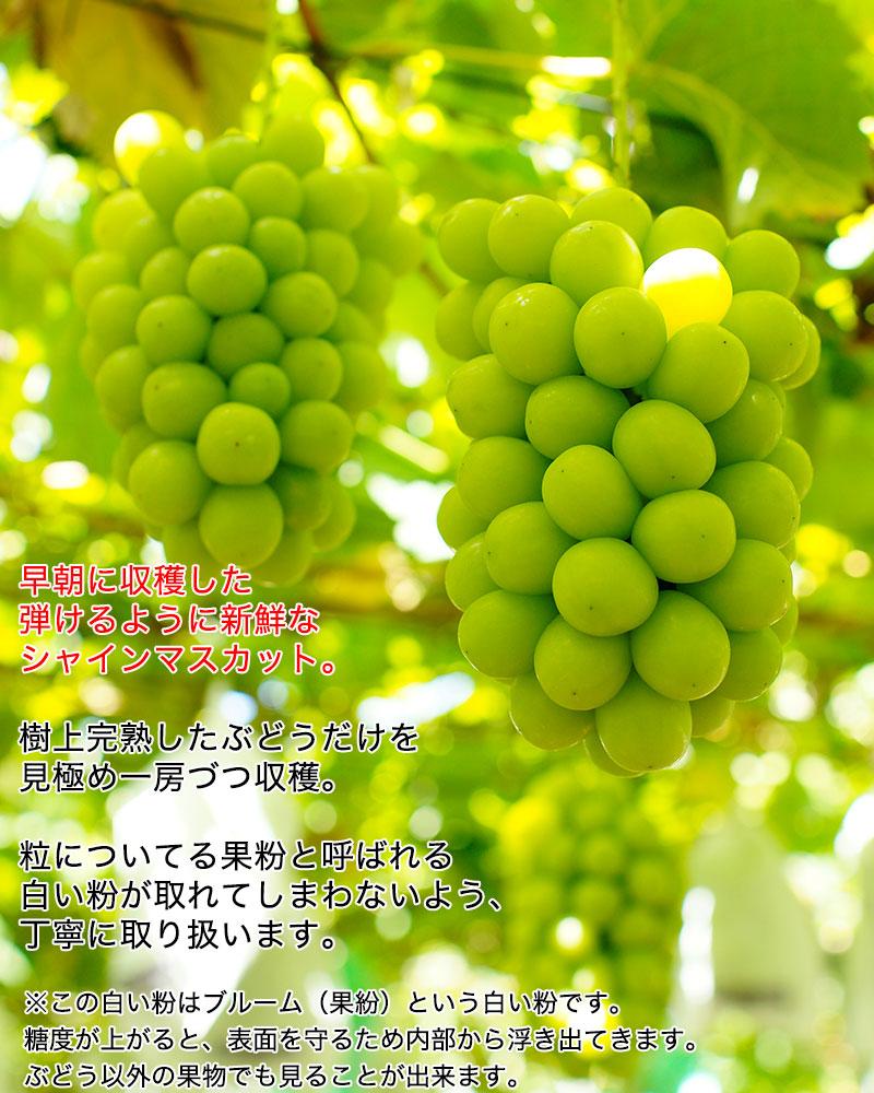 シャインマスカット 約1kg(約500g×2房入)<br><br>【送料無料】※一部地域を除く<br>大粒・種なし・皮ごと食べれる美味しいぶどう!<br>糖度驚きの17度以上!<br>葡萄 ブドウ ぶどう ハウス栽培 高糖度 マスカット