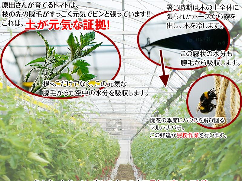 ミニトマトあいこ(アイコ)2kg【送料無料】  和歌山のエコファーマーが減農薬・減化学肥料で作るこだわりの果肉・栄養たっぷりの美味しいトマト(ロケットトマト)