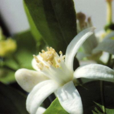 フロール デ アサール (オレンジの花)