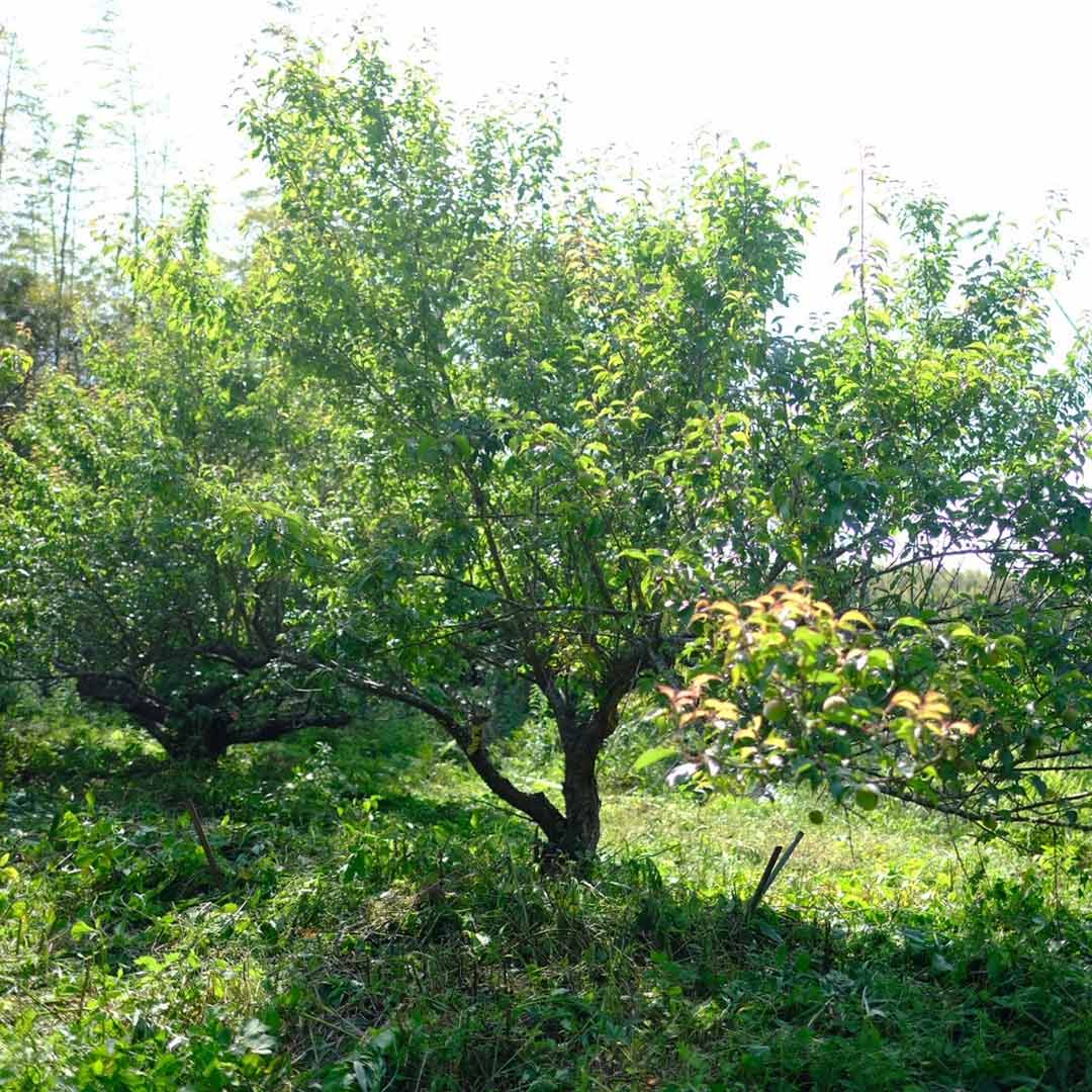 【今季終了】糸島の青梅(梅酒、梅ジューズ用)/1kg、3kg、5kg/5月末〜収穫予定