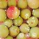 【予約受付終了】糸島の黄色梅(梅干し用)/1kg、3kg、5kg/6月中旬〜収穫予定