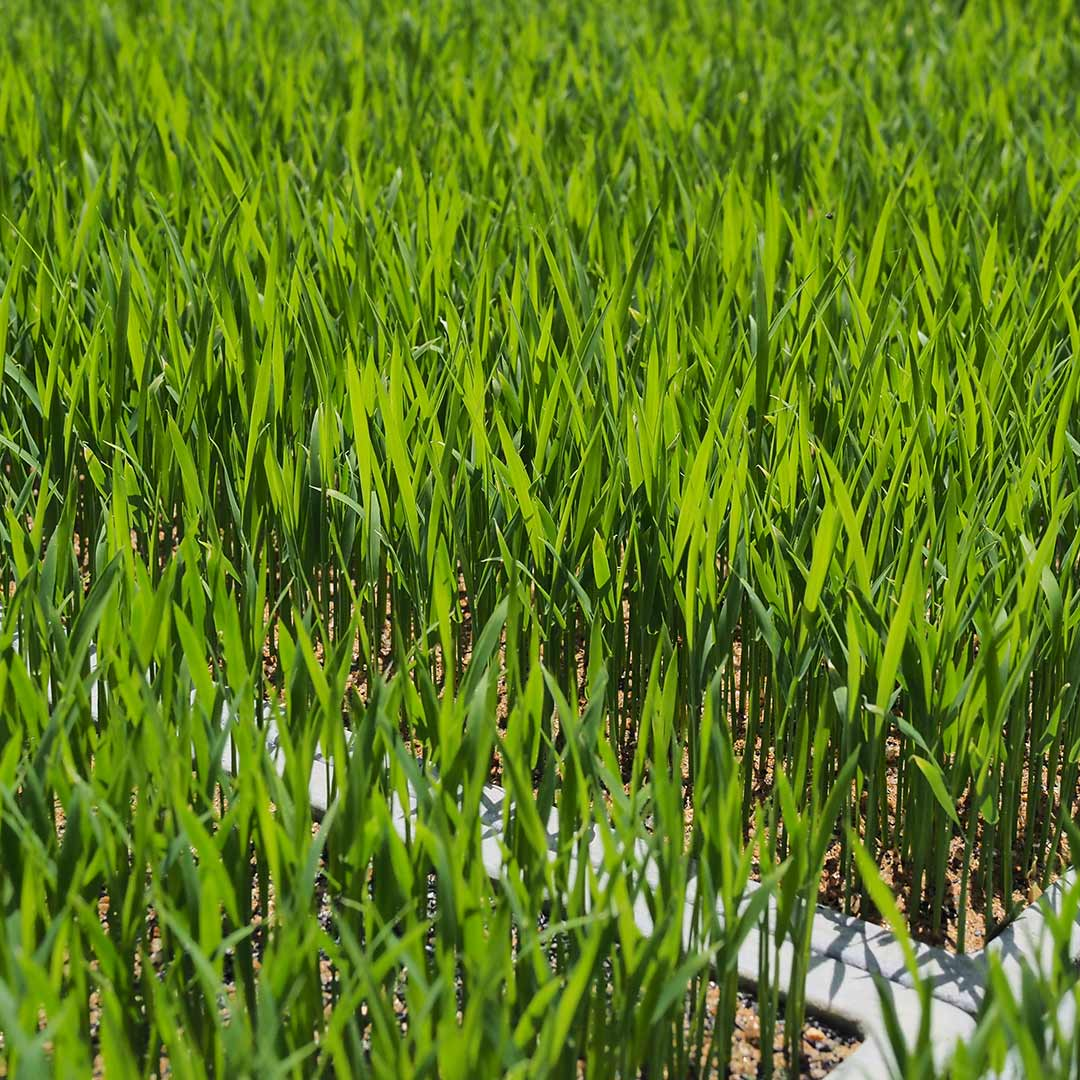 令和2年度産/無農薬玄米/2kg