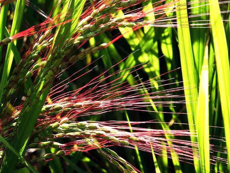 対馬豆酘・赤米守り
