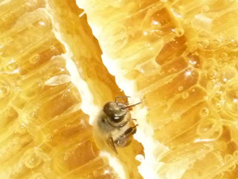 対馬和蜂の非加熱はちみつ 切りたて「巣蜜」