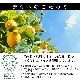 【期間限定】長崎銘菓レモンクルス 8枚入