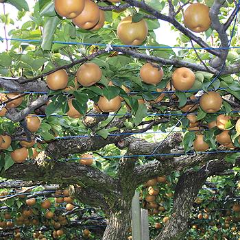 呉羽梨「新高」 8玉・5kg富山のエコファーマー認定農家よりを直送 ※季節商品※