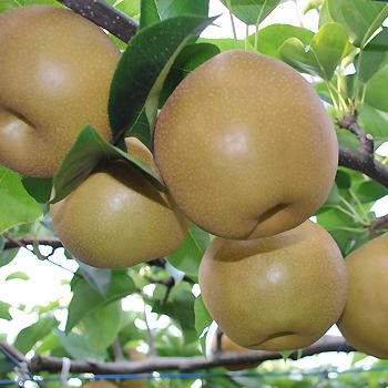 呉羽梨「新高」10玉・5kg/富山のエコファーマー認定農家よりを直送 ※季節商品※