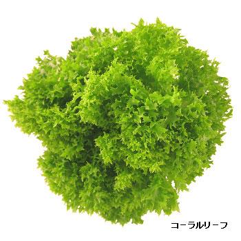 【定期購入】スマイルリーフスピカ 「レタス3種類(6個入)」