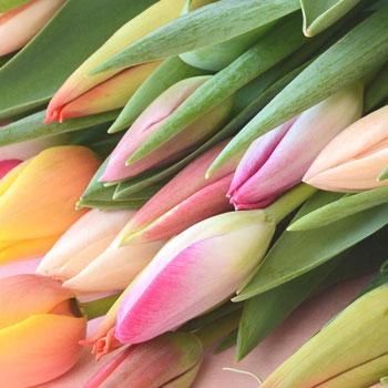 「ミックスブーケ ご自宅用 50本入 8035」 富山県産チューリップの花束を産地直送