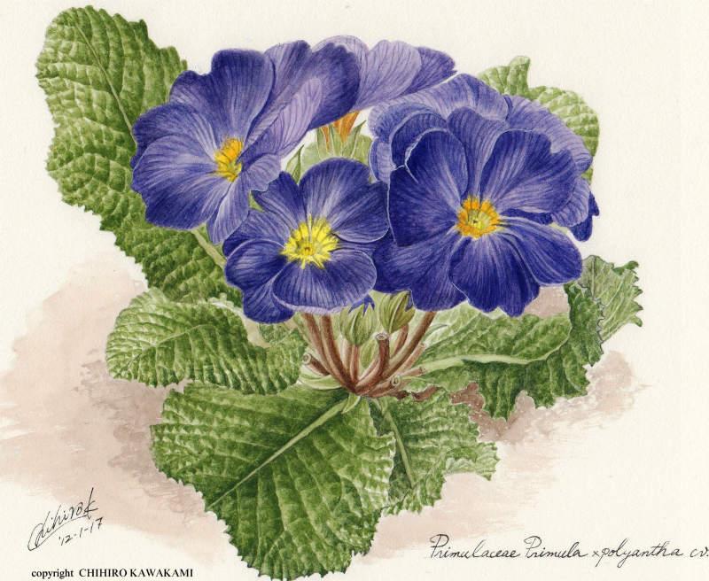ポリアンサ(青紫)