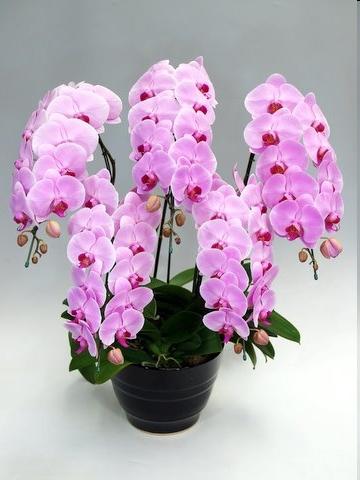 【胡蝶蘭】 ピンク 5本立 55リン前後