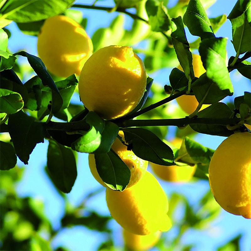 ACQUA DELL'ELBA  Limonaia Di Sant'andrea  アクア デル エルバ リモナイア・ディ・サンタンドレーア ルームディフューザー 200mL