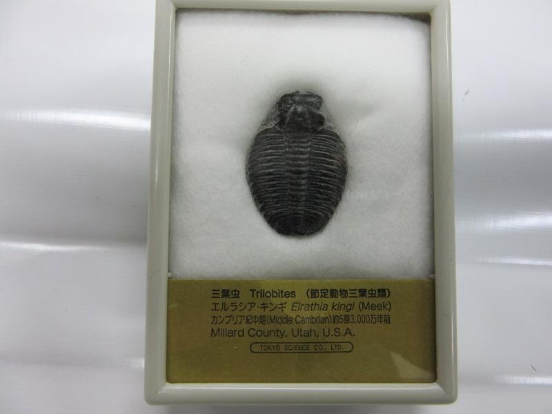 化石 三葉虫 エルラシア 001