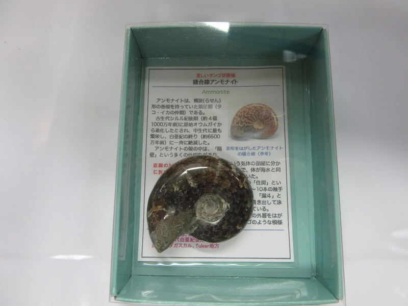 化石 縫合線アンモナイト 002