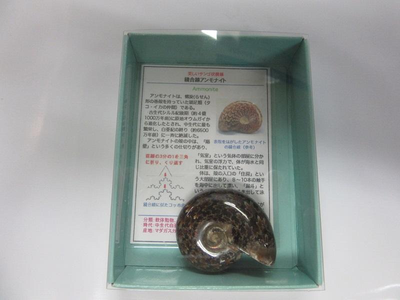 化石 縫合線アンモナイト 003